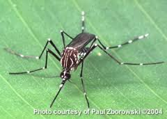 The Aedes aegpyti mosquito can transmit Dengue Virus, an also Yellow Fever in urbanised regions.