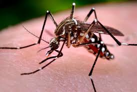 The main vector for Dengue Virus - the Aedes aegypti mosquito.