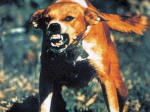 A Rabid Dog. Dog's are the main reservoir for human - transmitted rabies.