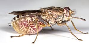 Tsetse Fly - The Vector